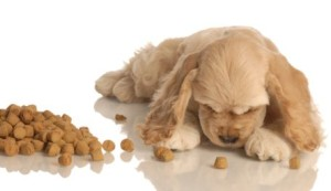 american cocker spaniel puppy eating dog food isolated on white background