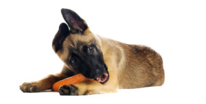Cute puppy eating a tasty carrot