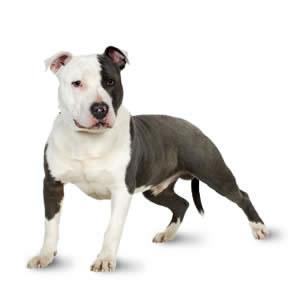 staffordshire Bull Terrier1