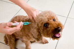 dog vaccination5
